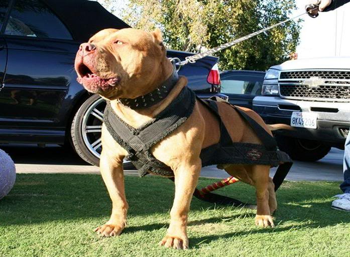 Red lion pitbull steroid